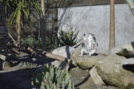 Melbourne Lemur Original
