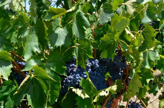 #grapes #McLarren Vale