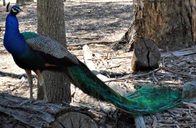 #peacock #Pfau