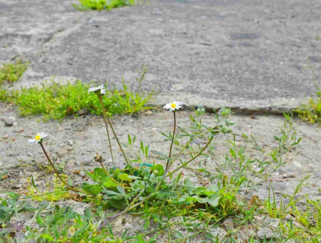 daisy in concrete - nature takes over - be kitschig blog Berlin