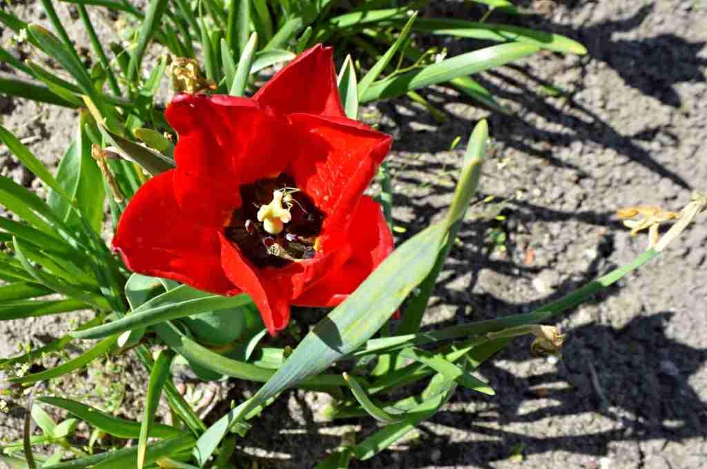Cricket in the tulip